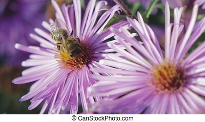 Honey bee collects nectar on the flower