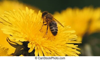 honey bee collects pollen on a yellow dandelion