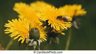 honey bee collects pollen on a yellow dandelion in spring...
