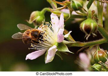 honey bee collets flower nectar, closeup of blackberry...