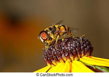 honey bee eats dinner at a black eyed susan