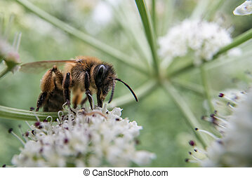 Honey bee feeding on umbellifer