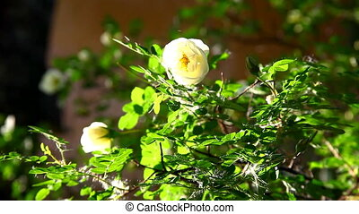 honey bee fly on rose bush at sunset