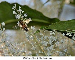 Honey bee gathering nectar
