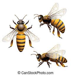 Honey bee - Honey Bee isolated on white
