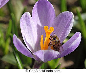Honey bee in a crocus flower. Spring in Poland.