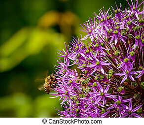 Honey Bee In Flight and Flower - Honey Bee flying...