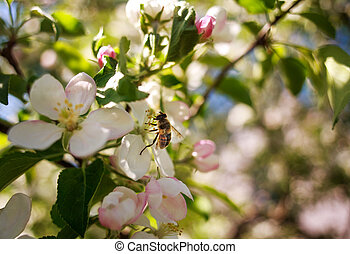 Honey bee in garden collects nectar from flowers of blooming trees