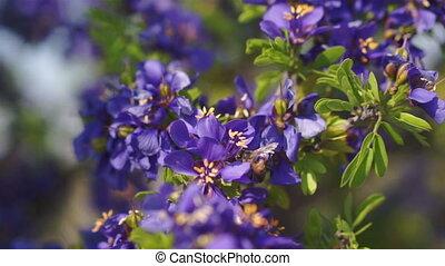 Honey Bee in Purple Flowers Polinat - European honey bee...
