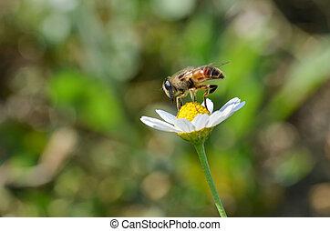 Honey Bee is on the daisy.