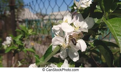 Honey Bee is pollinating apple flower blossom in garden on sunny spring day.
