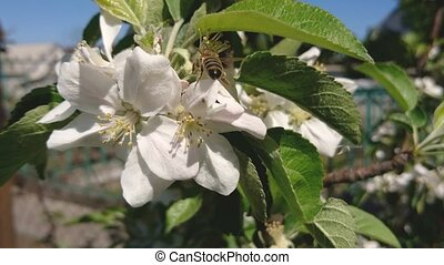 Honey Bee is pollinating apple flower in sunny spring day. -...