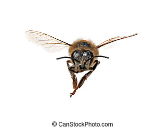 Honey Bee Looking Right At You With Extreme Detail on White Background