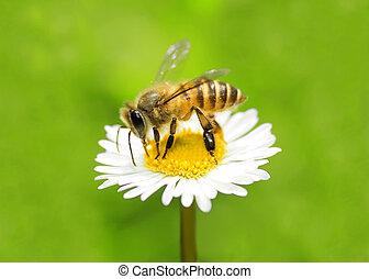 honey bee - macro bee on camomile