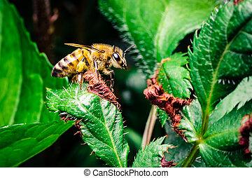 Honey Bee on a Green Leaf