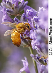Honey bee on a lavendar plant.