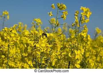Honey bee on a rapeseed blossom