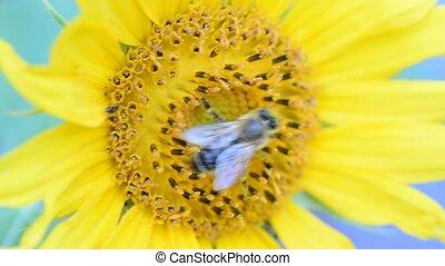 Honey bee on a sunflower - Honey bee (Apis mellifera)...
