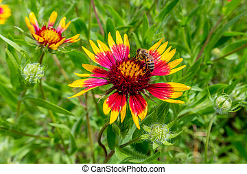 Honey Bee on a Texas Indian Blanket (or Fire Wheel) ...
