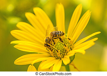 honey bee on a yellow flower in summer in Germany