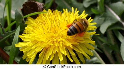 Honey bee on Dandelion Flower - This is a closeup video of a...