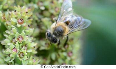 Honey bee on flower - Honey bee pollinating the flower.