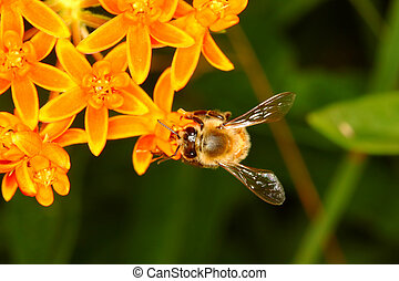 Honey Bee on Flower
