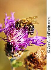 Honey bee on Knapweed - Close up of honey bee on knapweed ...