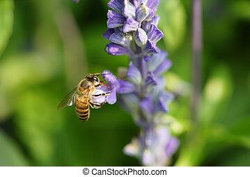 Honey bee on lavender flower. Honey bee is collecting pollen...
