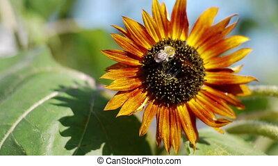 Honey bee on orange sunflower - Honey bee gathering pollen...