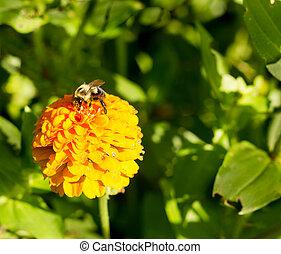 honey bee on orange yellow flower 2