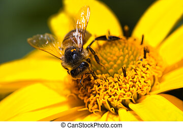 Honey-bee on yellow flower