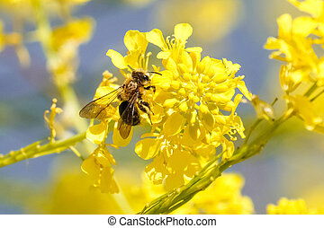 Honey bee on yellow green mustard flower