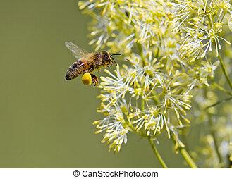 Honey Bee  - Honey bee collecting pollen