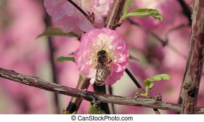 Honey bee pollinating an apple flower in early spring. Close up. Slow motion