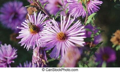 Honey bee pollinating flower, macro photography - Adult,...