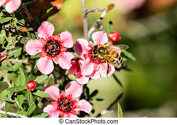 Honey bee pollinating Manuka (Leptospermum Scoparium) pink ...