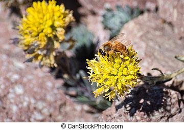 Honey bee pollinating the Mt. Lassen draba (Draba aureola) ...