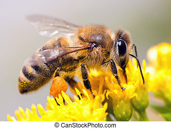 Honey Bee - Bees collecting nectar from flower