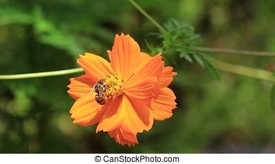 honey bee - worker honey bee on cosmos flower