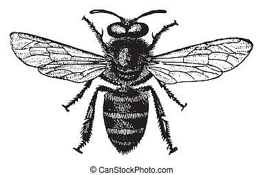 Honey bee, vintage engraving. - Honey bee, vintage engraved ...