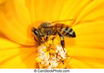 Honey Bee Worker collecting Pollen
