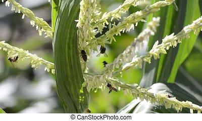 Honey bee worker.