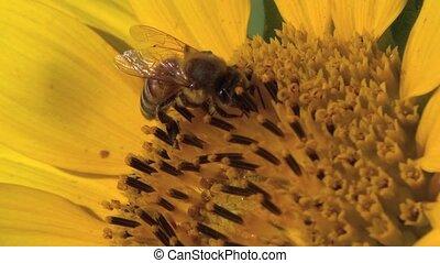Honey bee working on the sunflower