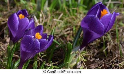 Honey bees collect nectar on crocuses