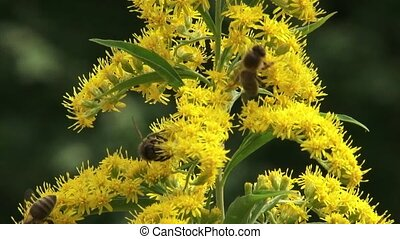 Honey bees feed on nectar Solidago canadensis, Canada goldenrod - close up