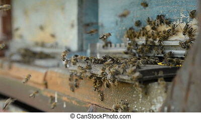 Honey bees on a pasik landing on boarding boards and flying...