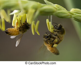 honey bees on corn flower working collecting pollen