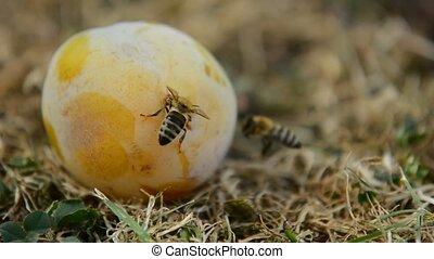 Honey bees on plum