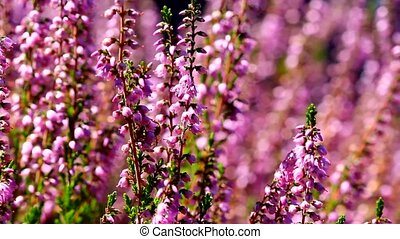 Honey bees pollinating Heather HD - High definition movie of...